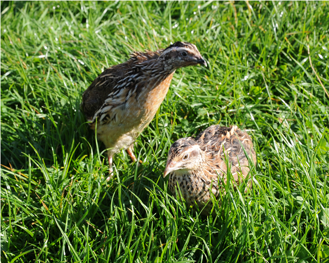A pair of Japanese Quail sitting in the grass